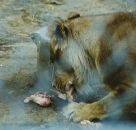 Lion eating human alive