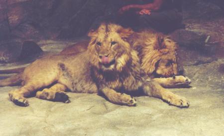 lions of las vegas