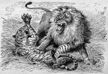 [Lion and Tiger fighting]
