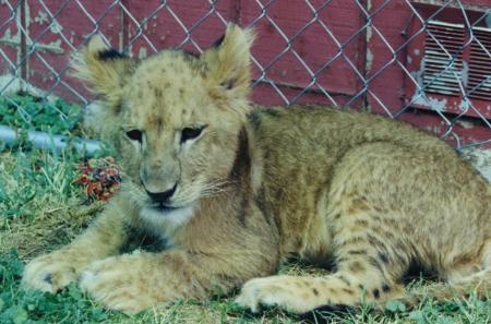 Lion Facts
