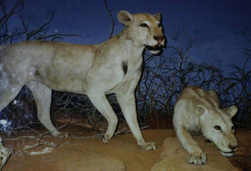 [The Tsavo man-eating lions.]